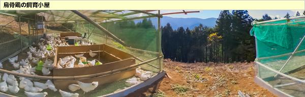 烏骨鶏の飼育小屋